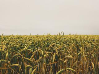 Cornfield-crops-farm-55766
